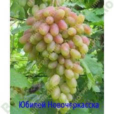 Саженцы винограда Юбилей Новочеркасска ⭐ привитые на КОБЕР 5ББ ⭐ СО-4 ⭐ РР 101-14 ⭐ корнесобственные ⭐ черенки
