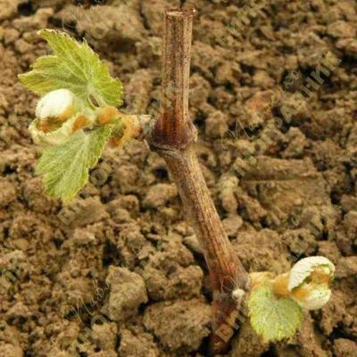 Аффинитет виноградного растения.