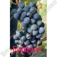 Саженцы винограда Буффало. ⭐ привитые на КОБЕР 5ББ ⭐ СО-4 ⭐ РР 101-14 ⭐ корнесобственные ⭐ черенки