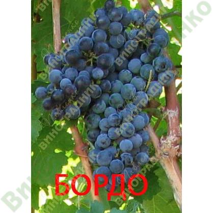 Саженцы винограда Бордо - Каберне-Совиньон ⭐ привитые на КОБЕР 5ББ ⭐ СО-4 ⭐ РР 101-14 ⭐ корнесобственные ⭐ черенки
