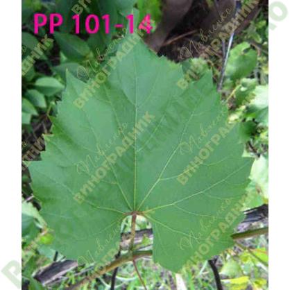 Саженцы винограда РР 101-14 ⭐ привитые на КОБЕР 5ББ ⭐ СО-4 ⭐ РР 101-14 ⭐ корнесобственные ⭐ черенки