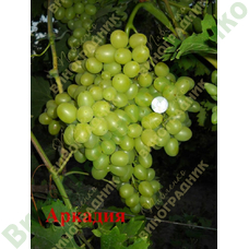 Саженцы винограда Аркадия ⭐ привитые на КОБЕР 5ББ ⭐ СО-4 ⭐ РР 101-14 ⭐ корнесобственные ⭐ черенки