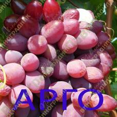 Саженцы винограда АРГО ⭐ привитые на КОБЕР 5ББ ⭐ СО-4 ⭐ РР 101-14 ⭐ корнесобственные ⭐ черенки