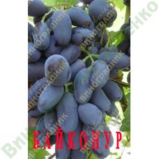 Саженцы винограда БАЙКОНУР ⭐ привитые на КОБЕР 5ББ ⭐ СО-4 ⭐ РР 101-14 ⭐ корнесобственные ⭐ черенки