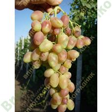 Саженцы винограда Анжелика ⭐ привитые на КОБЕР 5ББ ⭐ СО-4 ⭐ РР 101-14 ⭐ корнесобственные ⭐ черенки