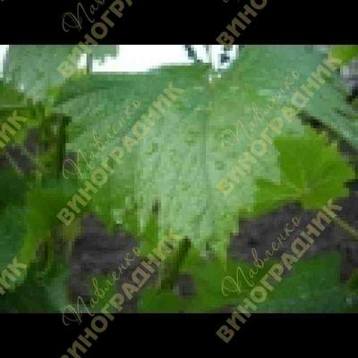 Как получить хороший урожай винограда?