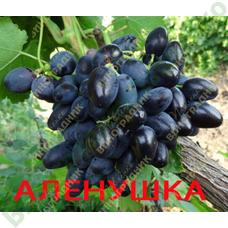 Саженцы винограда Аленушка Тип. BLECK FINGER сша ⭐ привитые на КОБЕР 5ББ ⭐ СО-4 ⭐ РР 101-14 ⭐ корнесобственные ⭐ черенки