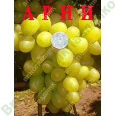 Саженцы винограда Арни. ⭐ привитые на КОБЕР 5ББ ⭐ СО-4 ⭐ РР 101-14 ⭐ корнесобственные ⭐ черенки
