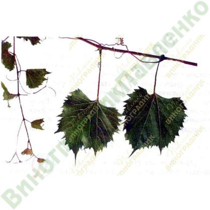 Саженцы винограда Солонис x Рипариа 1616 ⭐ привитые на КОБЕР 5ББ ⭐ СО-4 ⭐ РР 101-14 ⭐ корнесобственные ⭐ черенки