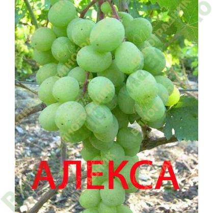 Саженцы винограда АЛЕКСА ⭐ привитые на КОБЕР 5ББ ⭐ СО-4 ⭐ РР 101-14 ⭐ корнесобственные ⭐ черенки