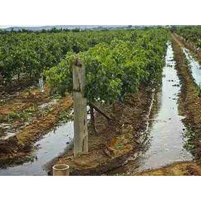 Как правильно удобрять и орошать виноградник.