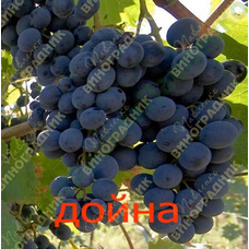 Саженцы винограда Дойна ⭐ привитые на КОБЕР 5ББ ⭐ СО-4 ⭐ РР 101-14 ⭐ корнесобственные ⭐ черенки