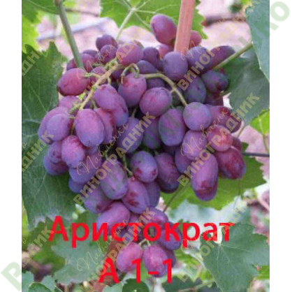 Саженцы винограда Аристократ А 1-1 ⭐ привитые на КОБЕР 5ББ ⭐ СО-4 ⭐ РР 101-14 ⭐ корнесобственные ⭐ черенки
