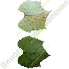 Саженцы винограда СО-4 ⭐ привитые на КОБЕР 5ББ ⭐ СО-4 ⭐ РР 101-14 ⭐ корнесобственные ⭐ черенки