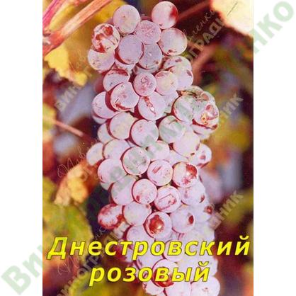 Саженцы винограда Днестровский розовый ⭐ привитые на КОБЕР 5ББ ⭐ СО-4 ⭐ РР 101-14 ⭐ корнесобственные ⭐ черенки