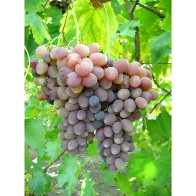 Полив виноградных кустов
