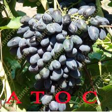 Саженцы винограда АТОС. ⭐ привитые на КОБЕР 5ББ ⭐ СО-4 ⭐ РР 101-14 ⭐ корнесобственные ⭐ черенки