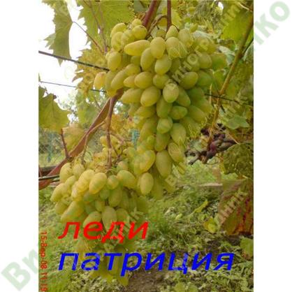Саженцы винограда леди патриция ⭐ привитые на КОБЕР 5ББ ⭐ СО-4 ⭐ РР 101-14 ⭐ корнесобственные ⭐ черенки