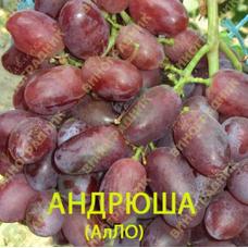 Саженцы винограда Андрюша. ⭐ привитые на КОБЕР 5ББ ⭐ СО-4 ⭐ РР 101-14 ⭐ корнесобственные ⭐ черенки
