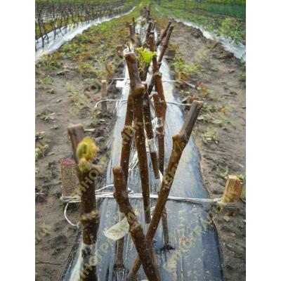 Выращивание привитых саженцев винограда.