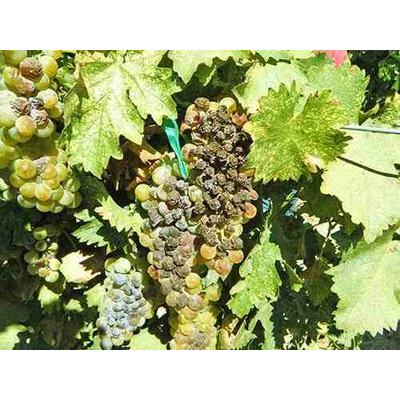 Благородная гниль винограда.