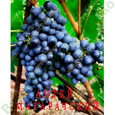 Саженцы винограда Антей магарачский ⭐ привитые на КОБЕР 5ББ ⭐ СО-4 ⭐ РР 101-14 ⭐ корнесобственные ⭐ черенки